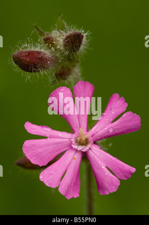 Red Campion (Silene dioica) in flower, close-up, Dorset, England, UK - Stock Photo