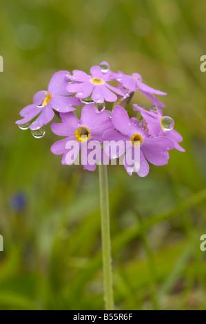 Bird's-eye primrose, primula farinosa, alpine wild flower, Dolomites, Italy - Stock Photo