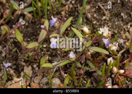 Small flowered blue eyed mary Collinsia parviflora near Winnemucca Lake in the Sierra Nevada Carson Pass California - Stock Photo