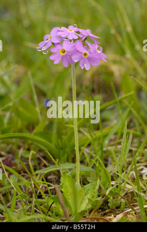 Bird's-eye primrose, primula farinosa, alpine wild flower, Dolomites, Italy - Stock Photo