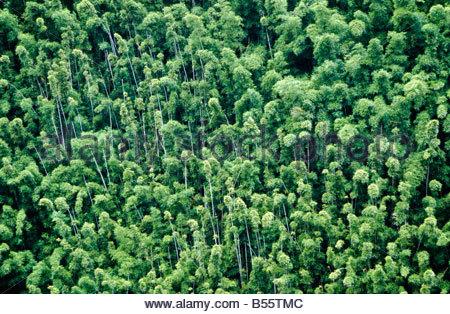 ... bamboo forest flora plant dense canopy tropical vegetation Waikamoi Ridge Koolau Forest Reserve Maui Island Hawaii & bamboo forest grove thicket flora plant dense vegetation canopy ...