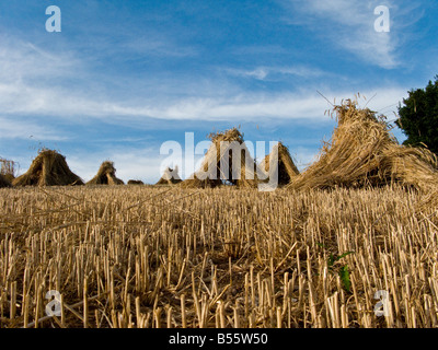 Wheat field stacks ready for thatching industry with blue sky Devon Great Britain United Kingdom UK - Stock Photo