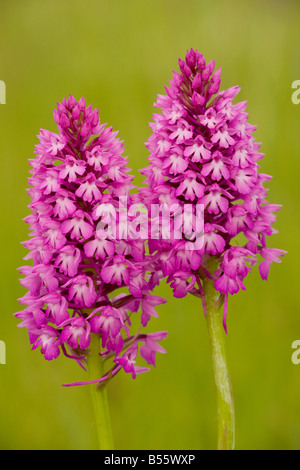 Pyramidal Orchid (Anacamptis pyramidalis) in flower, meadow, Dordogne, France - Stock Photo