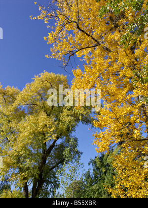 Berlin poplar (Populus x berolinensis) and Canadian poplar (Populus x canadensis) - Stock Photo