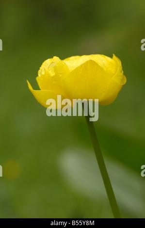 Globeflower, trollius europaeus, alpine wild flower, Dolomites, Italy - Stock Photo