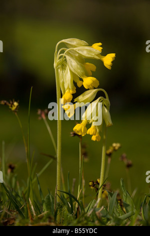 Cowslip Primula veris in flower in spring France - Stock Photo