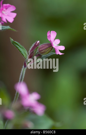 SILENE DIOICA RED CAMPION - Stock Photo