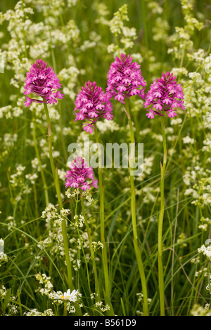 Pyramidal Orchid Anacamptis pyramidalis in flowery meadow Dordogne France - Stock Photo