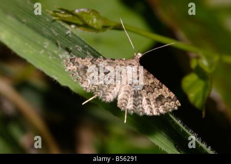 Twenty-plume / Many plumed moth Alucita hexadactyla Alucitidae UK - Stock Photo