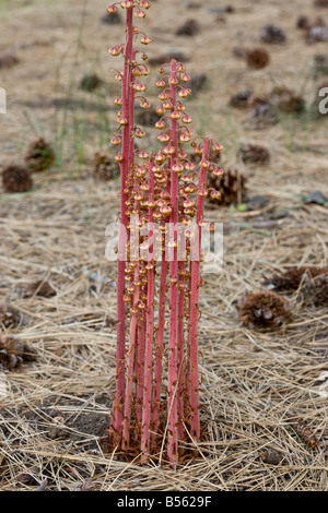 Pinedrops Pterospora andromedea a saprophyte or myco heterotrophs found in pine woodlands Oregon