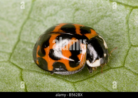 Harlequin Ladybird (Harmonia axyridis) close-up. Introduced invasive species originally from East Asia - Stock Photo