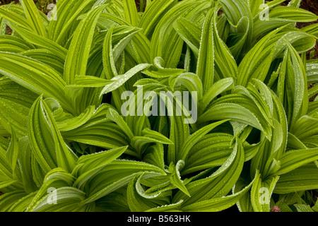 Green False Hellebore Veratrum viride after rain on Mount Rainier Cascade Mountains Washington - Stock Photo