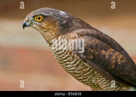 Male Sparrowhawk - Stock Photo