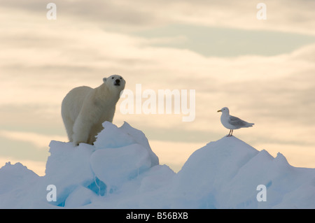 Young male polar bear at the floe edge with Arctic sea gull Lancaster Sound Nunavut Canada Arctic - Stock Photo