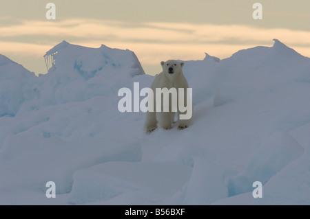 Young male polar bear at the floe edge Lancaster Sound Nunavut Canada Arctic - Stock Photo