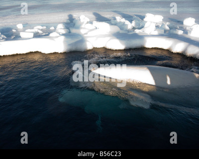 Beluga whales trapped in the ice at a small breathing hole they are very vulnerable to predators such as polar bears - Stock Photo