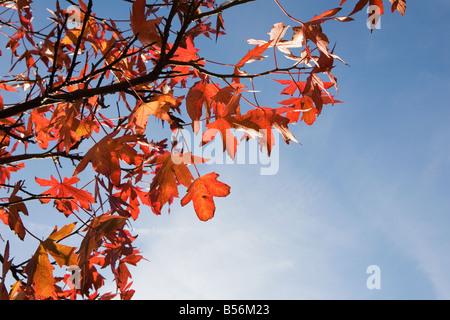 Autumn leaves on tree - Stock Photo