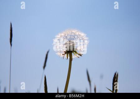 Dandelion clock - Stock Photo