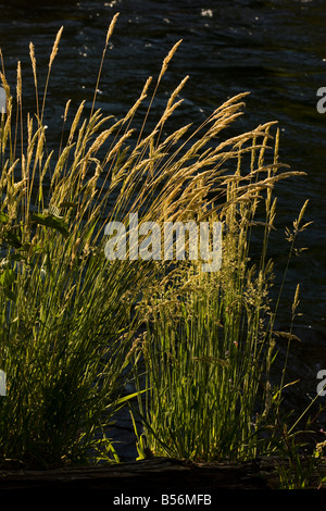 Yorkshire fog Holcus lanatus grass clump by river against the light - Stock Photo