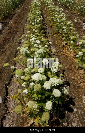 Carrots Daucus carota being grown as a seed crop in Oregon - Stock Photo