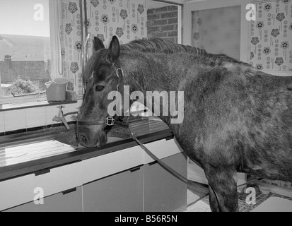 sam the pet pony having a drink of water in the kitchen sink of his owners - Kitchen Sink Drink