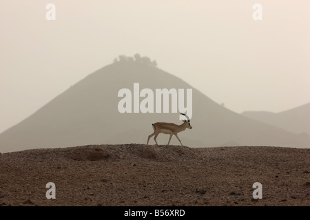 Sand or Goitered Gazelle Gazella subgutturosa Sir Bani Yas Island private game reserve in the persian gulf near - Stock Photo