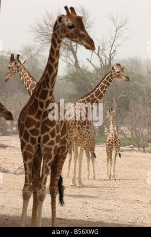 Giraffe Sir Bani Yas Island private game reserve in the persian gulf near Abu Dhabi United Arab Emirates - Stock Photo