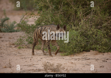 hyena Sir Bani Yas Island private game reserve in the persian gulf near Abu Dhabi United Arab Emirates - Stock Photo