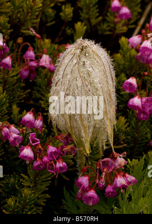 Seed heads of Western Anemone or Western Pasque flower Anemone occidentalis in the mist with red heather Mount Rainier - Stock Photo