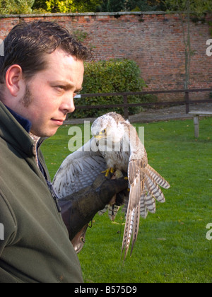 Falconer with a Saker Falcon Falco cherrug at a demonstration at Thorp Perrow Arboretum Bedale UK - Stock Photo