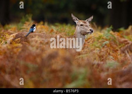 Red Deer Cervus Elaphus hind with magpie on back Richmond park London - Stock Photo