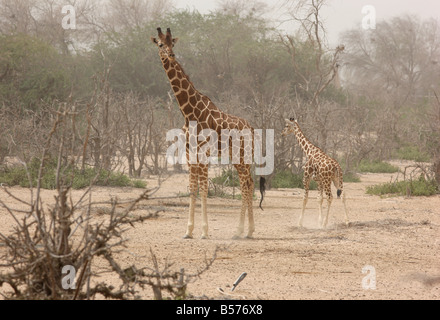 Giraffe Sir Bani Yas Island private game reserve in the persian gulf near Abu Dhabi United Arab Emirates - Stock Photo