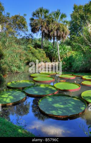 Sabal palm tree at Kanapaha Botanical Garden in Gainesville Florida ...