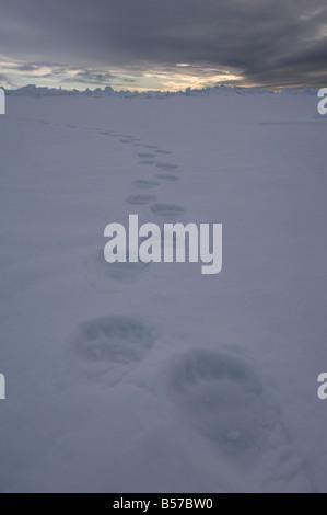 POlar bear tracks footprints in the snow Lancaster Sound Nunavut Canada Arctic - Stock Photo
