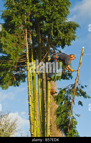 A tree surgeon working near the top of a conifer he is felling - Stock Photo