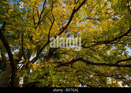 Field maple Acer campestre in full autumn colour Romania - Stock Photo
