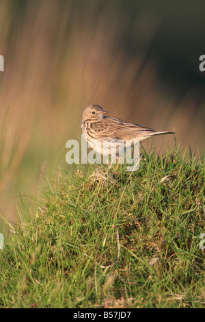 MEADOW PIPIT Anthus pratensis PERCHING ON GRASS CLUMP SIDE VIEW - Stock Photo