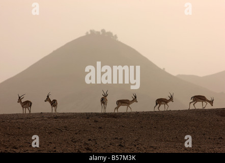 Sand or Goitered Gazelle Gazella subgutturosa Sir Bani Yas Island private game reserve in the persian gulf near - Stock Photo