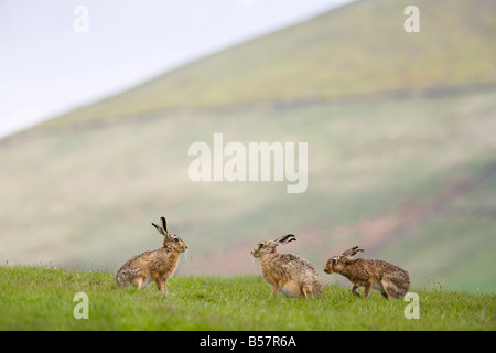 Brown hares (Lepus europaeus), Lower Fairsnape Farm, Bleasdale, Lancashire, England, United Kingdom, Europe - Stock Photo
