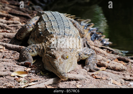 Saltwater crocodile, Northern Territory, Australia, Pacific - Stock Photo