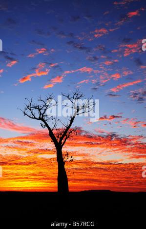 Boab tree at sunrise, Kimberley, Western Australia, Australia, Pacific - Stock Photo
