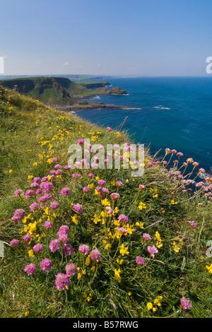 Pink sea thrift on cliff top, North Antrim coast path to the Giant's Causeway, County Antrim, Ulster, Northern Ireland - Stock Photo
