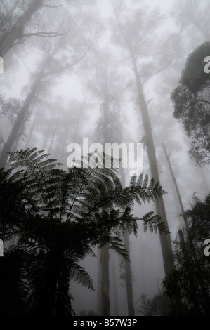 Mountain ash trees, the tallest flowering plants in the world, and tree ferns in fog, Dandenong Ranges, Victoria, - Stock Photo