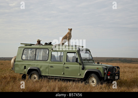 Cheetah (Acinonyx jubatus) on Land Rover safari vehicle, Masai Mara National Reserve, Kenya, East Africa, Africa - Stock Photo