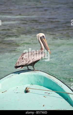 Pelican Tobaco Caye Belize Central America - Stock Photo