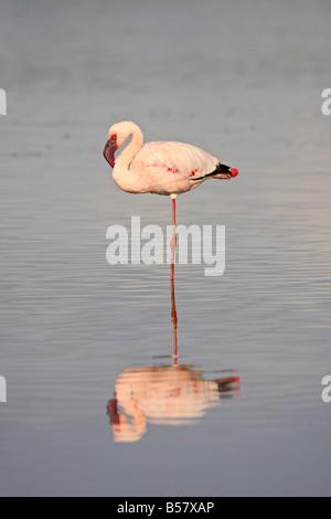 Lesser flamingo (Phoeniconaias minor), Serengeti National Park, Tanzania, East Africa, Africa - Stock Photo