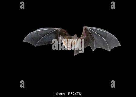 Pallid bat (Antrozous pallidus) in flight, near Portal, Arizona, United States of America, North America - Stock Photo