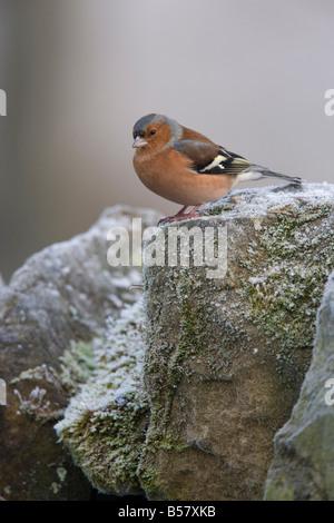 Male chaffinch (Fringilla coelebs), on stone wall, United Kingdom, Europe - Stock Photo