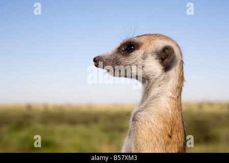 Meerkat (Suricata suricatta) sentinel, Kalahari Meerkat Project, Van Zylsrus, Northern Cape, South Africa, Africa - Stock Photo