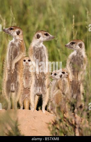 Meerkats (Suricata suricatta) with young, Kalahari Meerkat Project, Van Zylsrus, Northern Cape, South Africa, Africa - Stock Photo